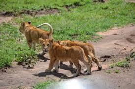 Adventure Safari/ 17 Days Safari-tarangire/lake Manyara/serenget.