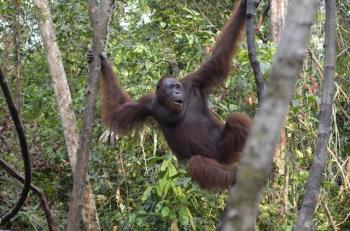Orangutan Explores Borneo Tour Package