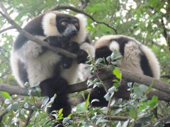 Discovering the Rainforest & Indri Indri Package
