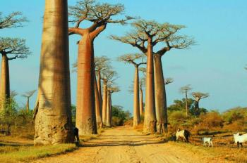 Baobabs & Kirindy Forest Package