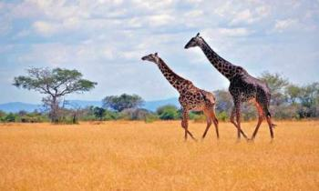 5 Days Kenya Safari to Tsavo and Amboseli Tour