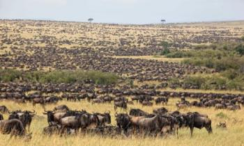 3 Days Mara Wildebeest Migration Tour