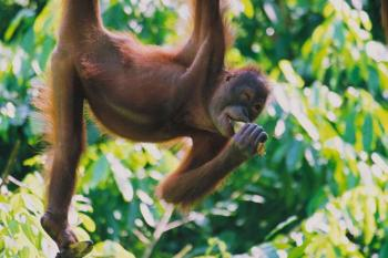 09 Days North – West Sumatra Overland Tour Included Orangutans