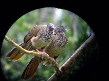 Manu Bird Paradise Tour