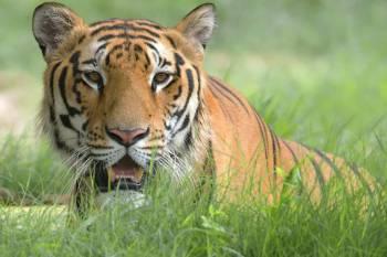The Royal Bengal Tiger Tour