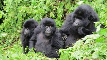 Gorilla Tracking in Rwanda Package