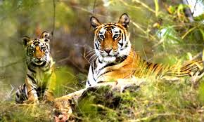 The Roar of Indian Tiger Tour