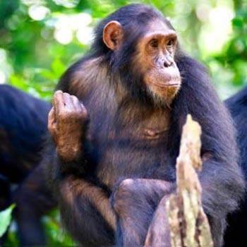 3 Days Gombe Chimpanzee Trekking Tour