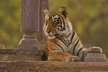 Rajasthan Tour with Tigers