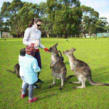 Kangaroo Tour Of Australia