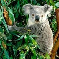 Koala Tour of Australia