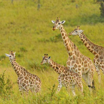 9 Days Uganda Big Game Safari in Uganda National Parks Tour
