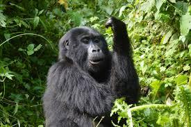 Uganda and Rwanda Gorilla Safari Tour