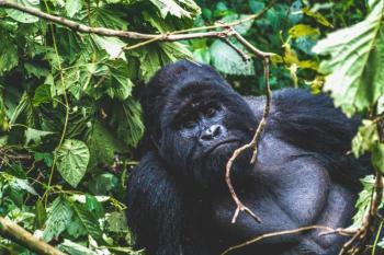 Rwanda And Uganda Gorilla Tours