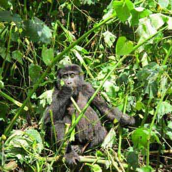 Gorilla Tracking Safari in Bwindi Tour