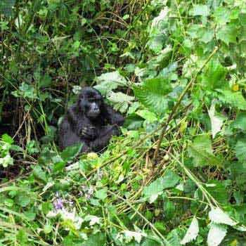 Rwanda Gorilla Trekking Safari Tour