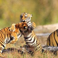 Pench - Tadoba Wildlife Tour