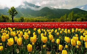 Tulip Package Kashmir