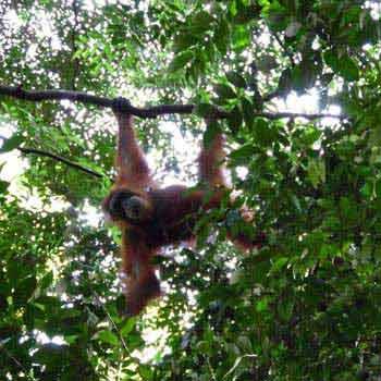 Orangutan, Sibayak & Toba Package