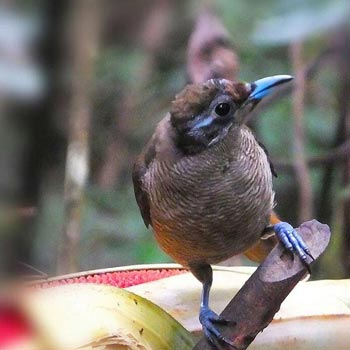 Papua Birding Package