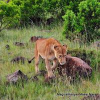 Nairobi - Maasai Mara - Lake Nakuru - Mount Kenya Trekking safari