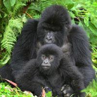 Just Gorillas Uganda Tour