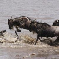 Masai Mara - Nakuru Camp Joining Migration Safari  - 4 Days