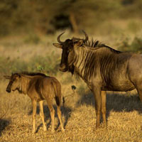 6 Days Manyara - Ngorongoro - Serengeti Migration Lodge Safari Tour