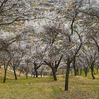 Hunza Cherry, Apricot Blossom Tour – North Pakistan