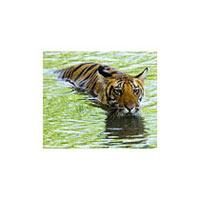 Madhya Pradesh Tiger Tour