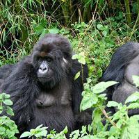 Gorilla Trekking Rwanda Tour
